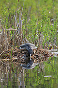 Common loon (Gavia immer) on nest in northern Wisconsin