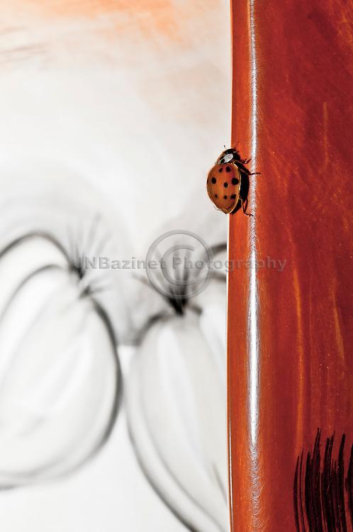North American Ladybug (ladybird)