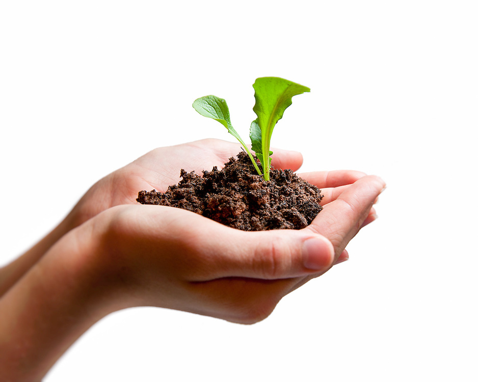 Image of hands holding a lettuce seedling in a handful of soil.