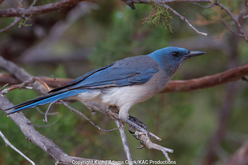 Mexican jay; Aphelocoma wollweberi; Arizona; Sonoran Desert; Southern; Summer