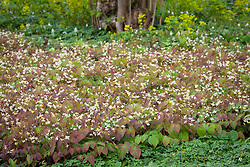Epimedium × versicolor 'Sulphureum' AGM in the Nuttery at Sissinghurst Castle Garden