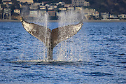 Water spray from a the fluke of an endangered humpback whale, Southern California