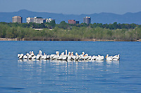 American White Pelicans (Pelecanus erythrorhynchos) in Cherry Creek Reservoir in the Denver Metro Area, Colorado.