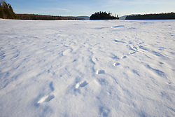 Red fox tracks in the snow on Second Connecticut Lake in winter.  Dawn.  Pittsburg, New Hampshire.  Connecticut River.