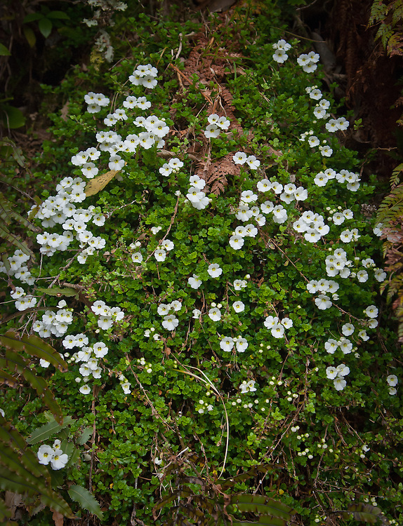 Ourisia macrocarpa growing on the Milford Track, New Zealand, on the ascent to the Mackinnon Pass. As these plants flower on mountainsides over 800m they rely on moths for pollination, hence the white petals