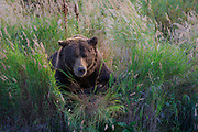 A brown bear rests in the tall grasses overlooking a river in Katmai National Park.
