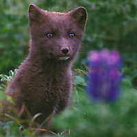 Blue phase Arctic Fox kit posing in a bed of lupines on St. George part of the Pribilof Islands Alaska.