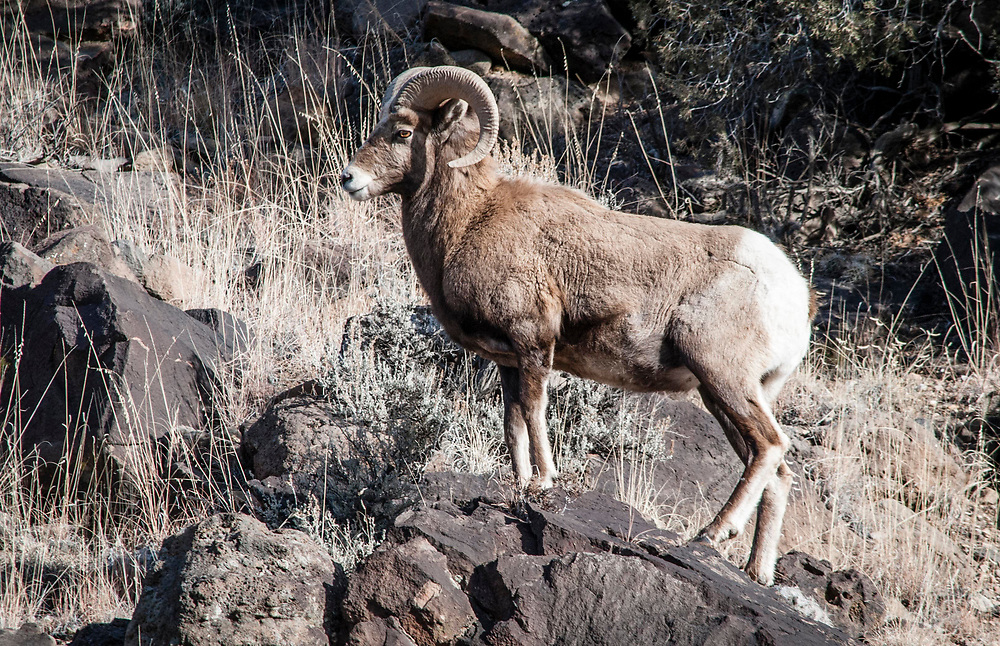 Rocky Mountain Bighorn Sheep. El Rio Grande del Norte National Monument, New Mexico. USA<br /> <br /> AVAILABLE AS:<br /> <br /> Size 20&rdquo; x 16&rdquo; (50.8cm x 40.6cm approx)*<br /> Edition of ONLY 100 at this size.<br /> US$350 + shipping<br /> <br /> Hand printed in Taos, New Mexico, USA by Taos Print and Photography Services using archival inks and fine art paper. signed and numbered by hand.<br /> <br /> Contact jim@jimodonnellphotography.com to order