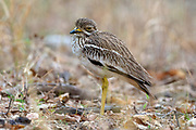 Indian thick-knee (Burhinus indicus) from Pench National Park, Madhya Pradesh, India.