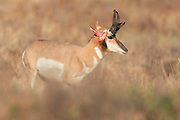 A pronghorn buck (Antilocapra) has some wounds after battling another buck during the mating rut, Western Montana