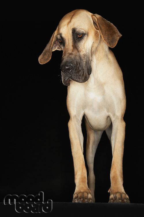 Great Dane standing front view