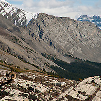 ram bedded in the rocks, steep rocky, snow capped mountains