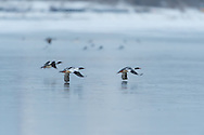 Mergansers wing slapping the ice.
