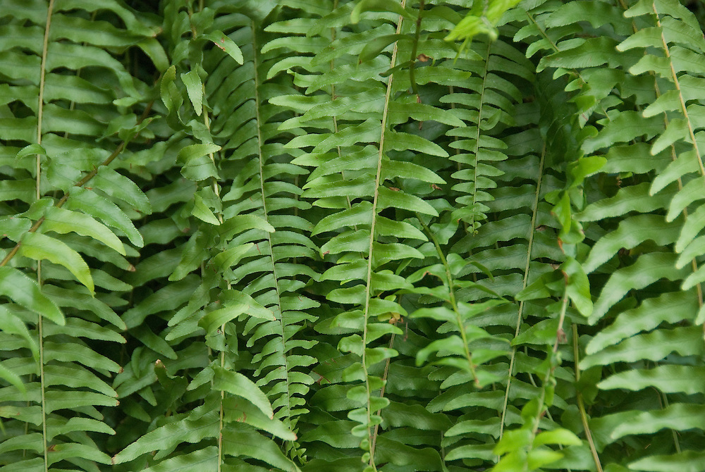 Ferns in Savannah, Georgia