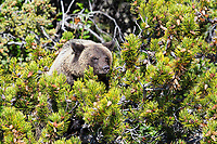 Grizzly bear cub eating pine cones, British Columbia, Canada