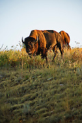 A North American Bison grazes in the early morning light of Custer State Park in South Dakota. August 29, 2009