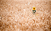 A lone Sunflower growing in a wheat field
