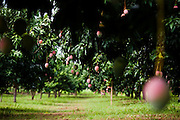 Mango orchard at Domescho farms in Somanya, Ghana on Wednesday June 17, 2009.