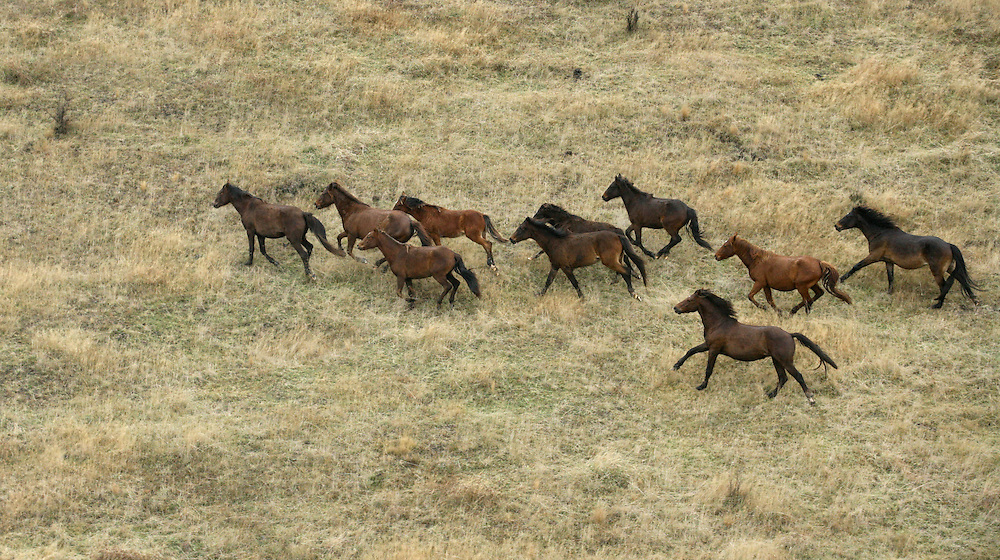 A small herd of wild Kaimanawa horses gallop away from a helicopter trying to round them up during a cull by DOC on the Waiouru Military land in the central North Island, New Zealand, June 12, 2007. Credit:SNPA / Rob Tucker