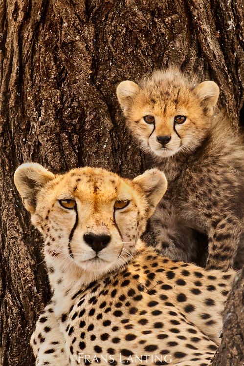 Cheetah mother with cub, Serengeti National Park, Tanzania