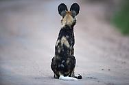 African wild dog, Lycaon pictus, Afrikanische Wildhund, licaón, Lycaon, 非洲野犬, リカオン, كلب بري إفريقي