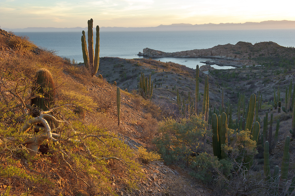 Torotes and Cardones are common flora species at Isla Catalina, Gulf of California..Baja California Sur, Mexico.