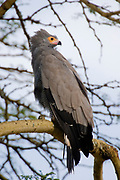 The African Harrier Hawk, Polyboroides typus, from Lake Nakuru NP, Kenya.
