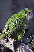 Kakapo, Stewart Island, New Zealand