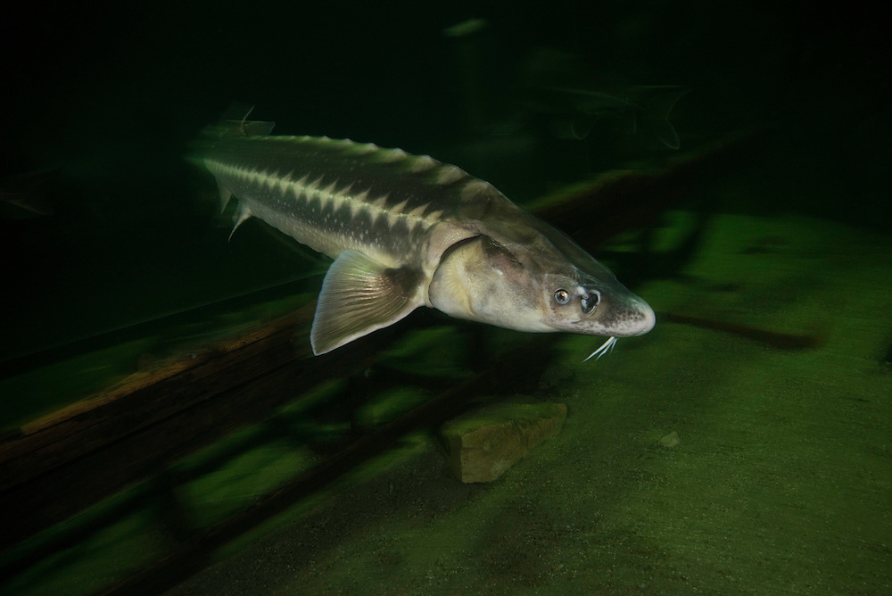 The Russian sturgeon (Acipenser gueldenstaedtii). Captive (Image shot in aquarium) in Danube Delta Eco Tourism Museum Center, Tulcea, Romania. DIGITALLY CLEANED.<br /> Also known as the diamond sturgeon or Danube sturgeon. Russian sturgeon reproduce slowly, making them highly vulnerable to fishing. 2006 IUCN Red List of Threatened Species.