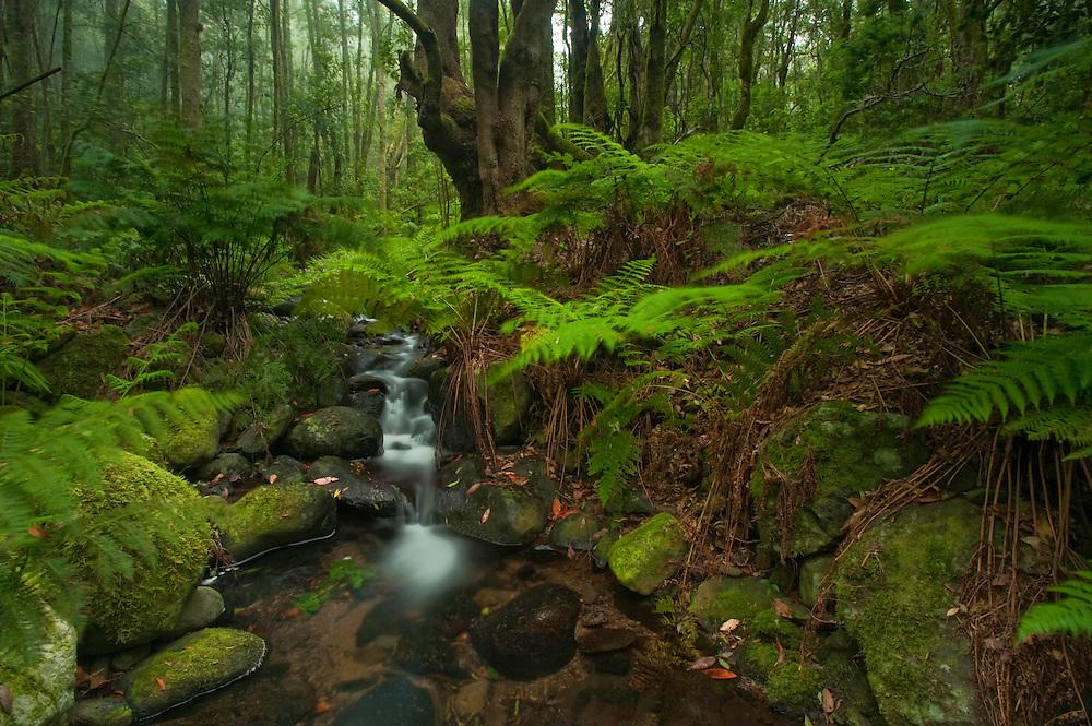 Barranco del Cedro and Cedro river, Laurisilva forests (Laurus azorica) among other trees in Garajonay National Park, La Gomera Island, Canary Islands, Spain.