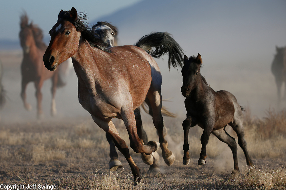 Wednesday, Oct. 12, 2016  : Wild Horses in the Utah West Desert. Photo by Jeff Swinger