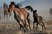 Wednesday, Oct. 12, 2016  : Wild Horses in the Utah West Desert. Photo by Jeff Swinger