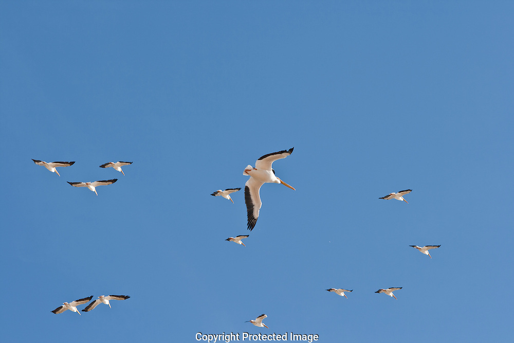 American White Pelicans flying over the Salton Sea