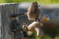 Cape Bulbul trying to drink from a water tap, De Hoop Nature Reserve, Western Cape, South Africa