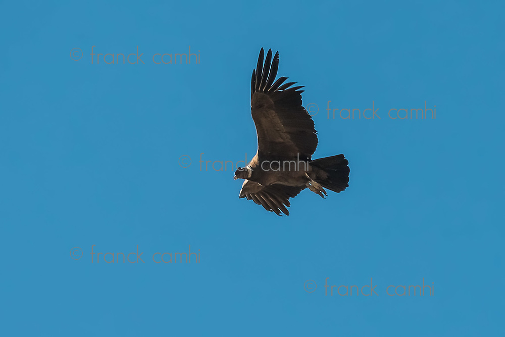 Andean condor flying in the Colca Canyon in the peruvian Andes at Arequipa Peru