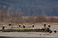 Bald Eagle<br /> Chilkat Bald Eagle Preserve, Alaska<br /> <br /> <br /> Upwards of 2,500 Bald Eagles gather every autumn along the three and a half mile stretch of the Haines Highway running through the Chilkat Bald Eagle Preserve.  <br /> This section is called The Council Grounds.<br /> <br /> Edition of 500