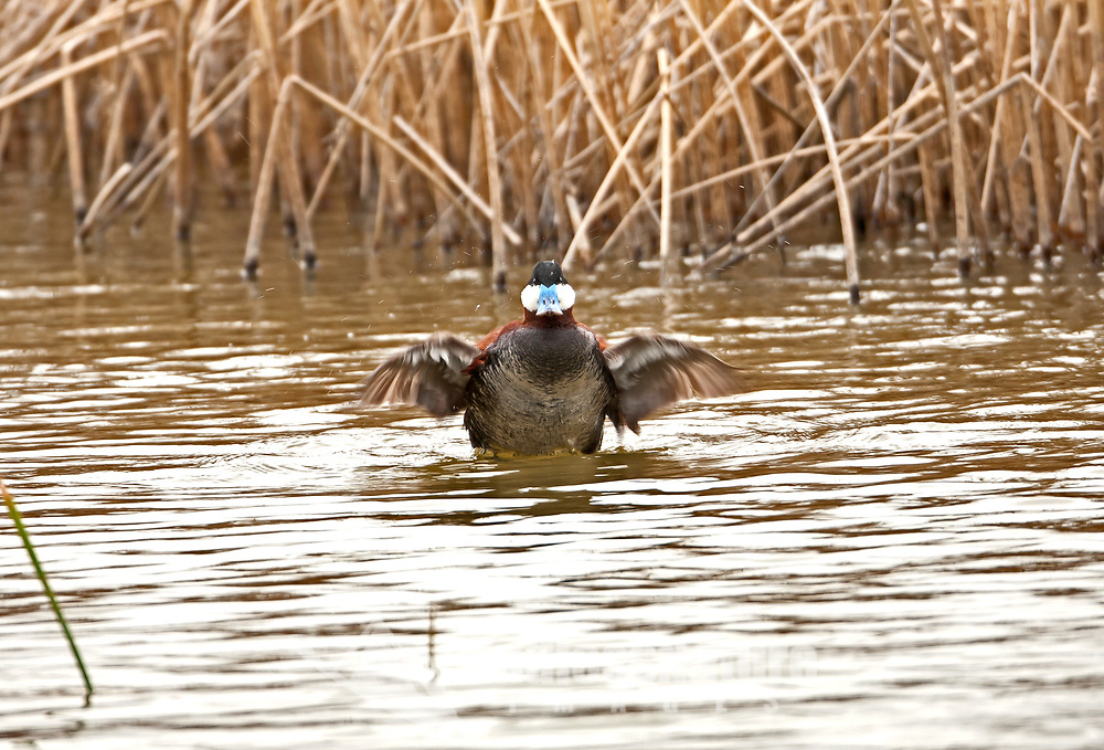 A male Ruddy Duck drying off after sparring with another male over the rights to female that is in the area.