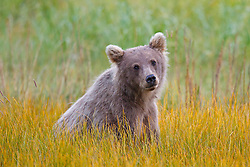 North American brown bear / coastal grizzly bear (Ursus arctos horribilis) cub sitting in a field of grass, Lake Clark National Park, Alaska, United States of America