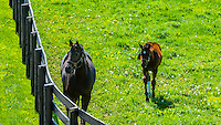 Thoroughbred mare and foal, Winstar Farm, Versailles (Lexington), Kentucky USA.