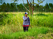 08 NOVEMBER 2017 - NONG SAENG, NAKHON NAYOK, THAILAND:  A worker walks through a rice field during the 2017 rice harvest in Nakhon Nayok province. Thailand is the second leading rice exporter in the world and 16 million Thais work in the rice industry.      PHOTO BY JACK KURTZ