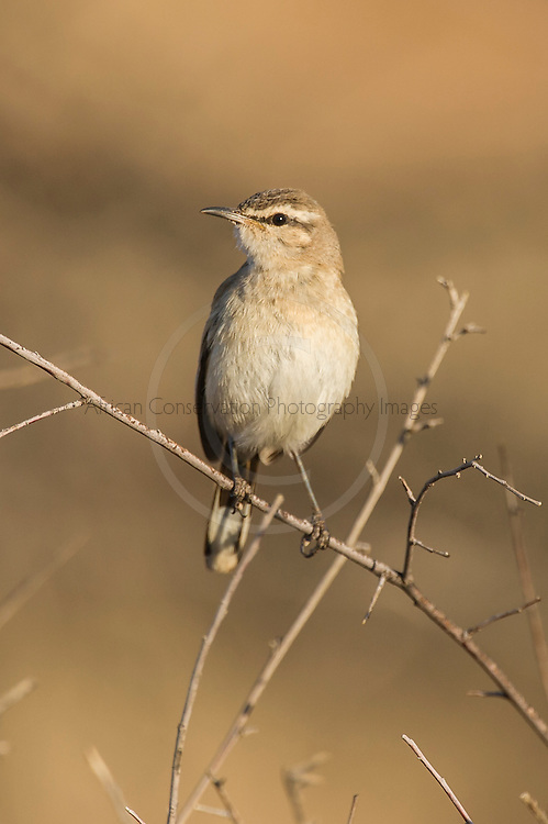 Kalahari Scrub Robin, Dronfield Nature Reserve, Nothern Cape, South Africa