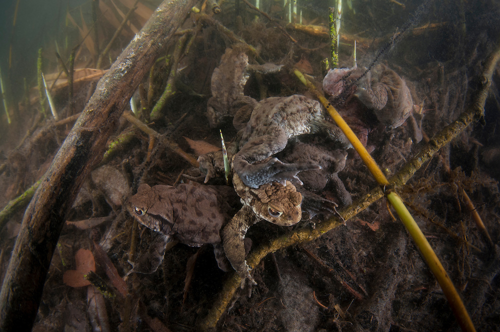 Common toad (Bufo bufo), vanlig padda<br /> Location: Billebjär, Skåne, Sweden