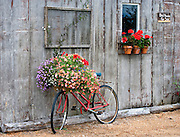 Old Bike With Flower Basket Leaning Up Against Potting Shed, Anacortes, Washington