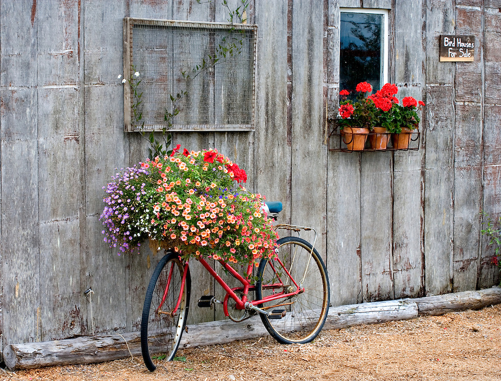 Old Bike With Flower Basket Leaning Up Against Potting Shed, Anacortes, Washington