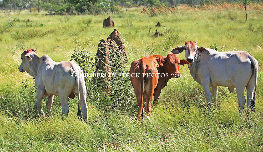 Cattle gather round a termite mound in the Kimberley wet season.