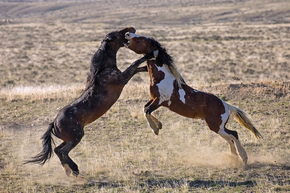 Two bachelor stallions test their mettle during the Spring breeding season at McCullough Peaks Herd Management Area.