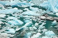 El glaciar Perito Moreno es una gruesa masa de hielo ubicada en el departamento Lago Argentino de la provincia de Santa Cruz, en el sudoeste de la Argentina, en la región de la Patagonia.<br /> <br /> Este glaciar se origina en el campo de hielo Patagónico Sur. En su descenso, alcanza el brazo Sur del lago Argentino, con un frente de 5 km de longitud, aflorando sobre el agua con una altura de unos 60 m.<br /> <br /> Gracias a su constante avance, represa las aguas del brazo Rico de dicho lago, lo cual genera un desnivel con respecto al resto del lago de hasta 30 m. <br /> <br /> Por la presión de esta masa líquida se producen filtraciones en el hielo las que crean un túnel con una bóveda de más de 50 m la que finalmente se derrumba, en un inusual espectáculo natural, fácilmente presenciable por turistas, por lo que es el máximo atractivo del Parque Nacional Los Glaciares, el cual integra.<br /> <br /> Se encuentra ubicado frente a la península de Magallanes, al sur del Parque Nacional, a unos 80 km de la villa El Calafate, hasta donde se puede llegar en avión desde el Aeropuerto Internacional Comandante Armando Tola o por vía terrestra por la Ruta Provincial  <br /> <br /> El Calafate se encuentra a 320 km al noroeste de la capital de la provincia, Río Gallegos. Situado en una zona rodeada de bosques y montañas, queda dentro del Parque Nacional Los Glaciares, reconocido como tal en 1937, en la Provincia de Santa Cruz, en el sur de la República Argentina. Este parque, de 724 000 ha, tiene en total 356 glaciares.<br /> <br /> <br /> <br /> ©Alejandro Balaguer/Fundación Albatros Media.