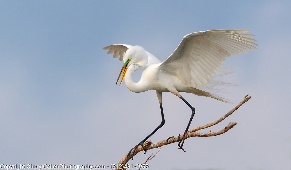 Great Egret landing on branch