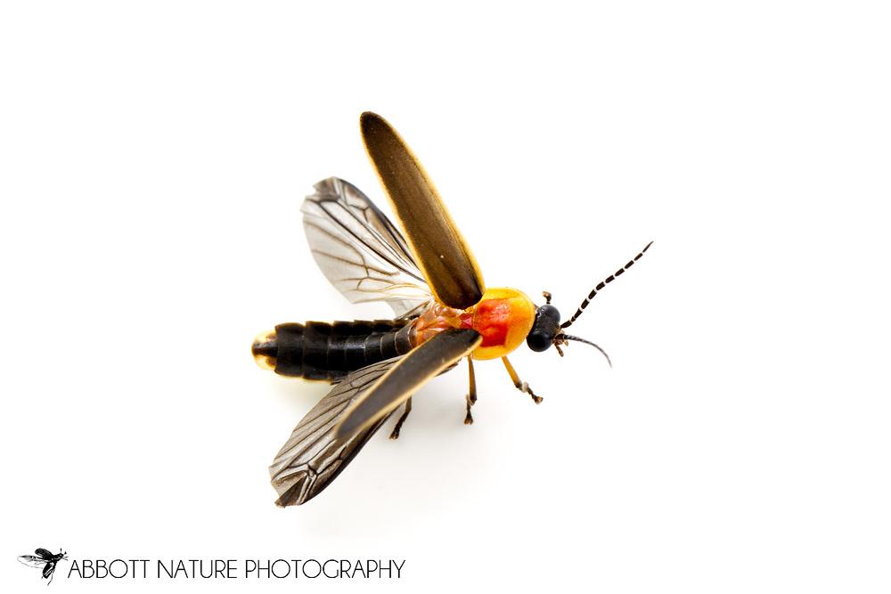 Firefly (Photinus sp.)<br /> TEXAS: Williamson Co.<br /> Cedar Park<br /> 26-May-2013<br /> J.C. Abbott
