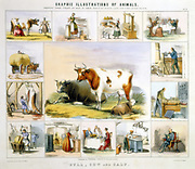 The Cow: milking, butter, cheese, milk, cutlery, leather, candles, meat, bookbinding. Hand-coloured lithograph published London c1850. From 'Graphic Illustrations of Animals and Their Utility to Man'